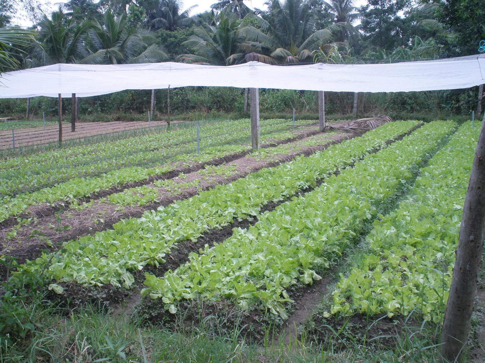 Mô hình lưới chống muỗi ngoài vườn được nhân rộng